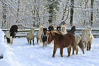 Islandfohlen-Winter-2010--190.jpg
